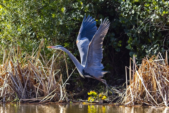 """Great Blue Heron"" - Photograph"
